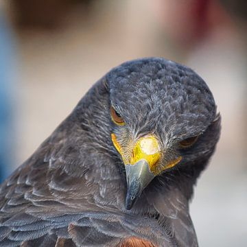 Raubvogel - 1 von Peter Morgenroth