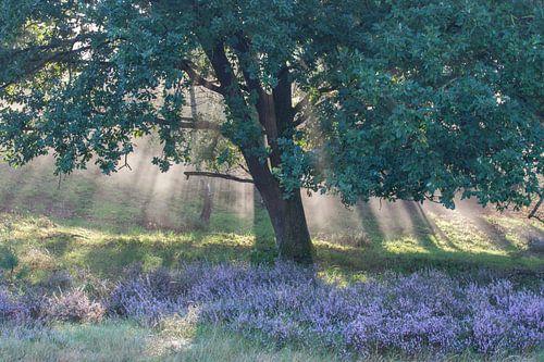 Heide landschap op de Veluwe van