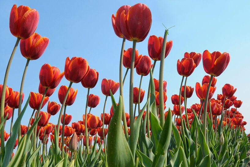 Rode tulpen van Jeannette Penris