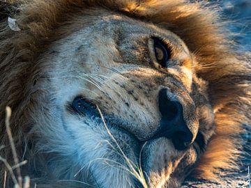 tête de lion sur Marc Van den Broeck