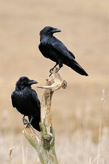 im Doppelpack... Kolkraben *Corvus corax*
