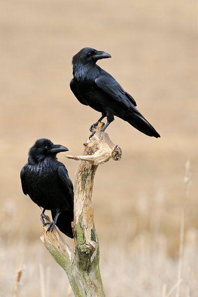 Common Raven  ( Corvus corax ), two together, perched van wunderbare Erde