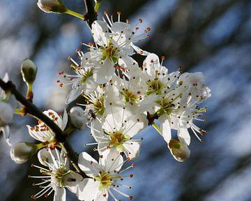 bloemen van de sleedoorn van Wim vd Neut