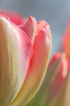Detail roze tulp van Arjan van der Beek