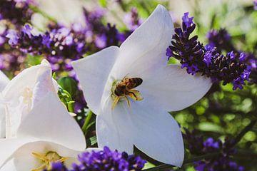 Bestuiving van bloem tussen de lavendel van