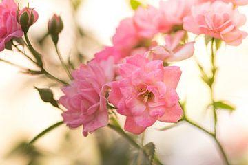 Rosen von Dagmar Marina