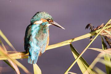 IJsvogel op rietstengel van