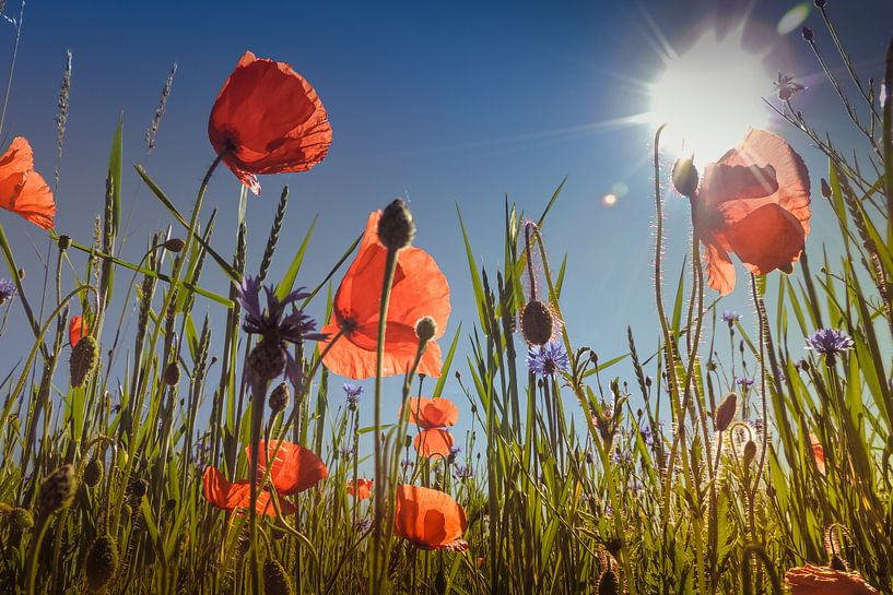 Prairie de fleurs de pavot sur Julia Delgado