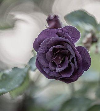 violette Rose von Tania Perneel