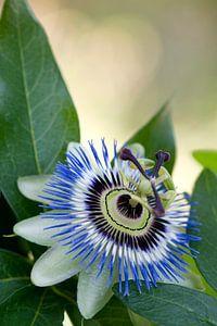 Blauwe passiebloem (Passiflora caerulea) van