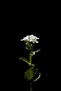 Die weiße Blume in der Natur schwarzer Hintergrund von Dieuwertje Van der Stoep