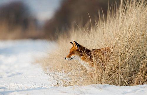 Een vos in de winter van