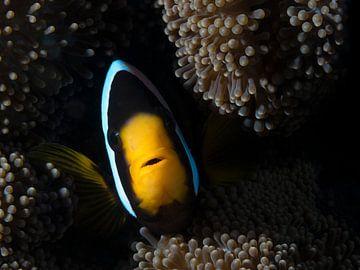Visportret van een zwarte anemoonvis in een anemoon van