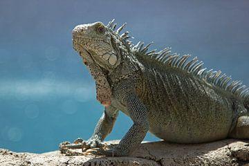 Leguaan op het strand van Curacao van Discover Dutch Nature