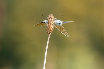 Ikarusblau - Polyommatus icarus 2 von Rob Smit