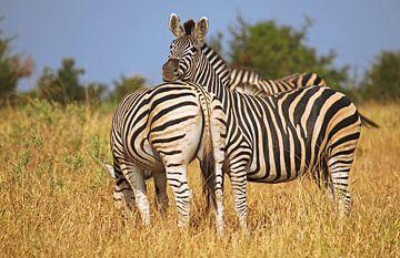 Zebras in Africa van W. Woyke