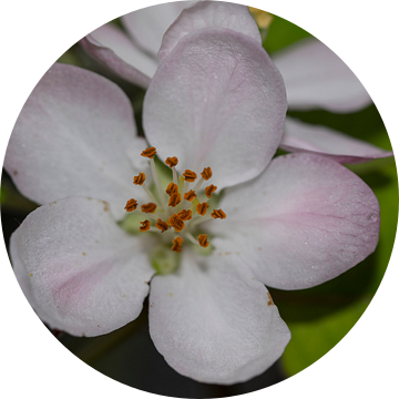 Appelbloesem van Guido Rooseleer