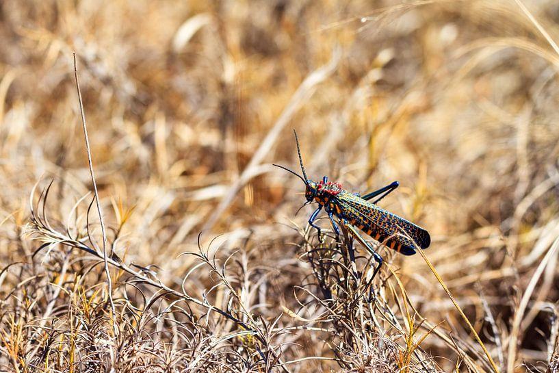 Regenboogsprinkhaan Madagaskar van Dennis van de Water
