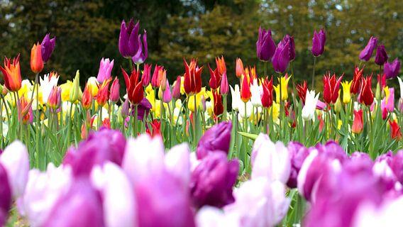 Tulip Color van Michael van der Burg