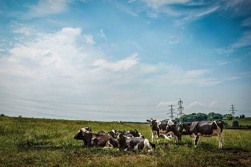 Les vaches du Limbourg sur Guus Quaedvlieg