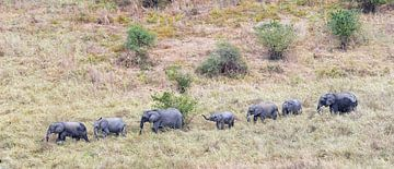 Faune : Un troupeau d'éléphants migre à travers la savane dans le parc national de Tarangire en Tanz sur Koolspix