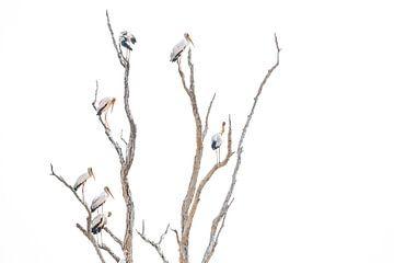 Afrikaanse ooievaars in boom van Anja Brouwer Fotografie
