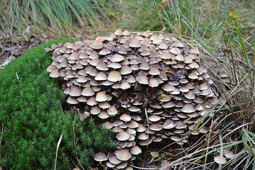 Pilze zwischen Gras und Moos von Bernard van Zwol