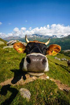 nieuwsgierige koe in de bergen van Leo Schindzielorz