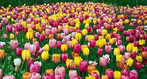 veld met paarse en gele tulpen