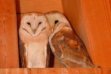 Barn Owls *Tyto alba* van wunderbare Erde