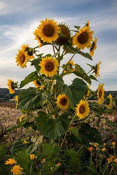 Sonnenblume Sunflower von Marlen Rasche