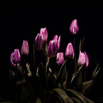 Lila Tulpen von Johannes Schotanus