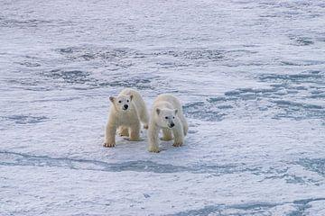 twee jonge ijsbeertjes van Merijn Loch