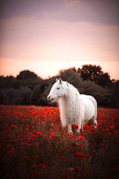 Tinker in klaprozenveld  / Nederland / Paard / Dierenfotografie / Kleurrijk beeld van Jikke Patist