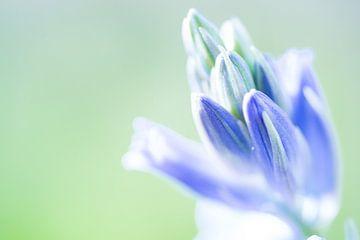 Blütenknospe der wilden Boshyazinthe von Fotografiecor .nl