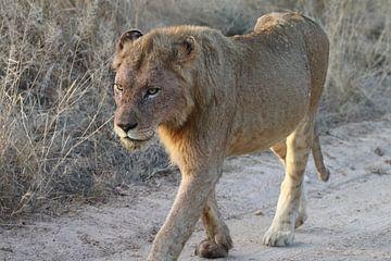 Leeuw in Paul Krugerpark Zuid Afrika van Ralph van Leuveren