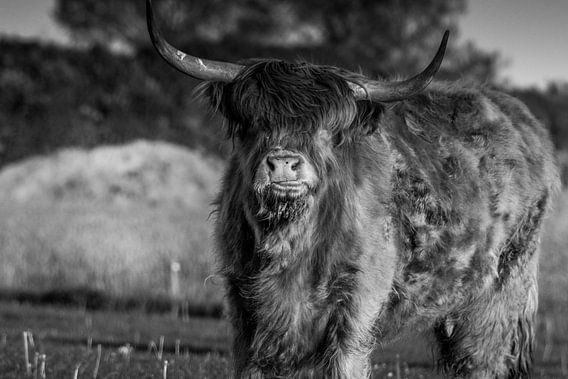 Schotse hooglander Rund