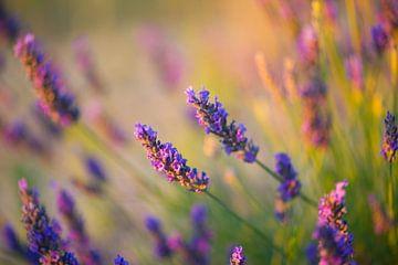 Lavendel Valensole 1 van Vincent Xeridat