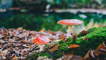 Roter Fliegenpilz in einem Herbstwald von Fotografiecor .nl