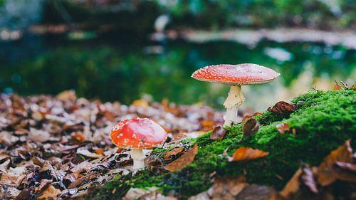 Rode  vliegenzwammen in een herfstbos