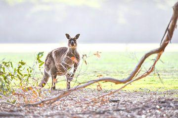 Känguru von Robert Styppa