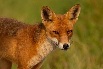 Porträt eines Rotfuchses von FatCat Photography