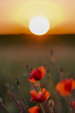 Rote Mohnblumen bei Sonnenuntergang im Sommer von Kim Willems