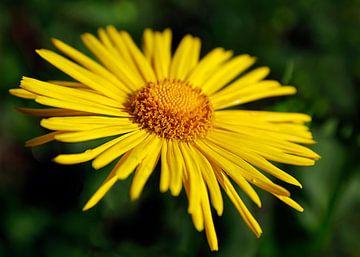 Sunny Flower_SvD van Stefanie van Dijk