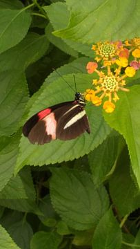 Een vlinder in de vlindertuin in blijdorp Rotterdam van Wilbert Van Veldhuizen
