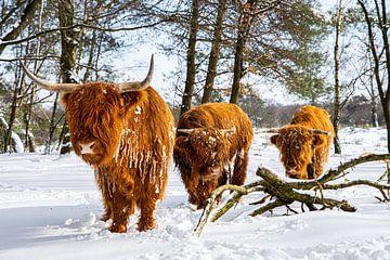 Schottische Highlander im Schnee 1