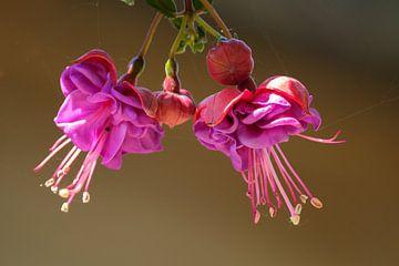 Fuchsien-Blumen von Joke Beers-Blom