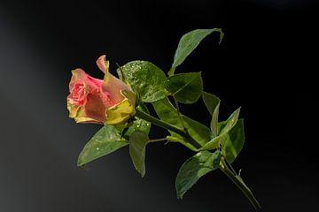 Rosa Liebe auf einem schwarz nuancierten Hintergrund von J..M de Jong-Jansen