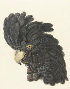 Kopf eines Kakadus, Aert Schouman