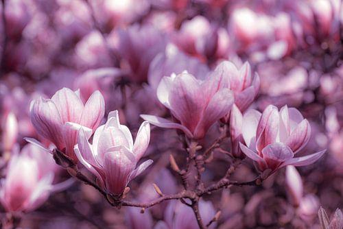Makro rosa Tonung Blüte Magnolie mit Bokeh im Frühling
